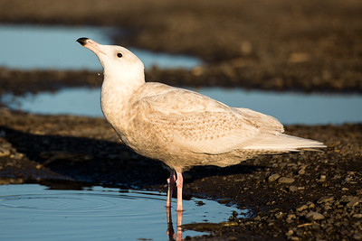 First-year Glaucous Gull  at Ediz Hook in Port Angeles, Washington.