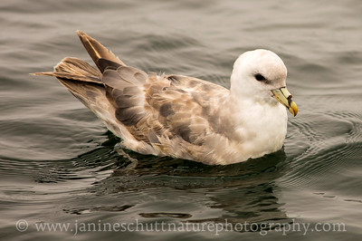 Northern Fulmar offshore from Westport, Washington.  Photo taken from a Westport Seabirds trip in July 2018