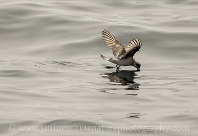 Fork-tailed Storm-petrel offshore from Westport, Washington.  Photo taken from a Westport Seabirds trip in July 2018.