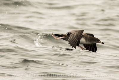 Pink-footed Shearwater offshore from Westport, Washington.  Photo taken from a Westport Seabirds trip in July 2018.