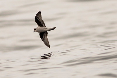 Fork-tailed Storm-petrel offshore from Westport, Washington.  Photo taken from a Westport Seabirds trip in August 2019.