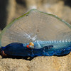 Blue Sail Jellyfish