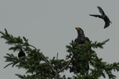 DSC_2983 - Crows attacking juvenile bald eagle