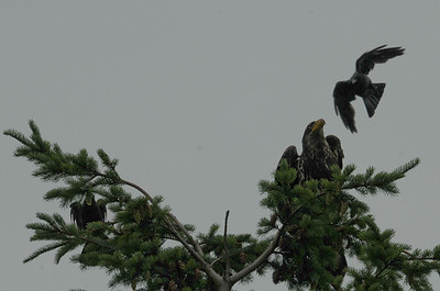 DSC_2984- Crows attacking juvenile bald eagle