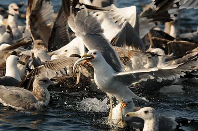 DSC_4824 - California gull with herring