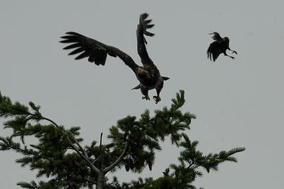 DSC_2992- Crows attacking juvenile bald eagle