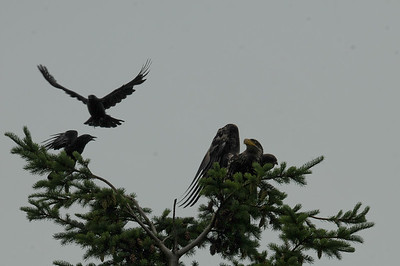 DSC_2986- Crows attacking juvenile bald eagle