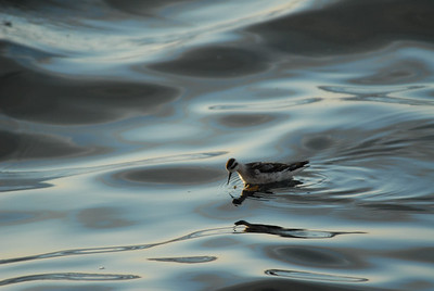 """Northern phalarope. Also known as the '""""red-necked""""  phalarope."""