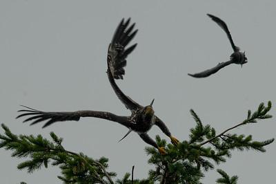 DSC_2994- Crows attacking juvenile bald eagle