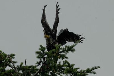 DSC_2990- Crows attacking juvenile bald eagle