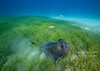 Southern stingray takes off