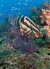 Nassau Grouper peek a boo