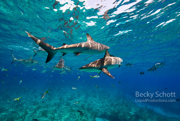 Reef shark swirls