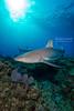 Reef shark over reef