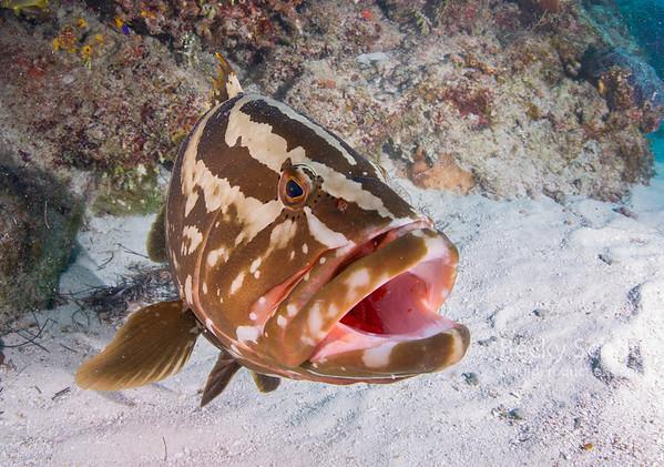 Open wide grouper