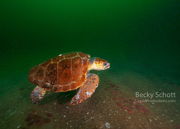 Green turtle takes off into the green