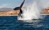 Big humpback breach