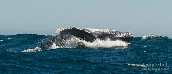 baby humpback calf on its back