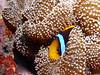 Clown fish in anemone blanket