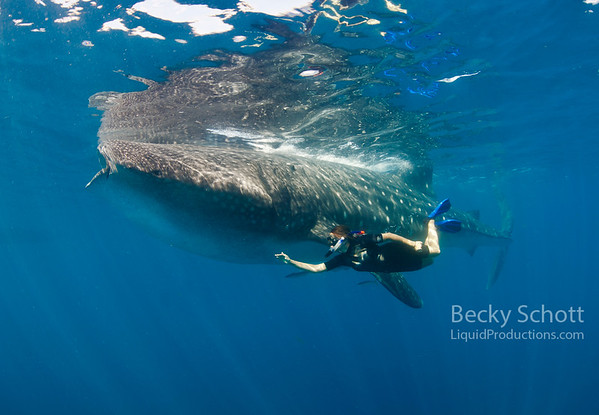 Whale shark and free diver