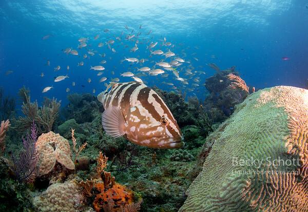 Nassau grouper on reef