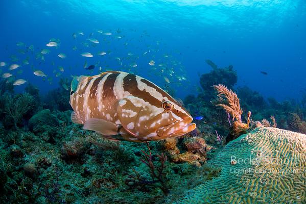 Happy Nassau Grouper on reef