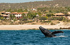 Humpback breach in front of beach