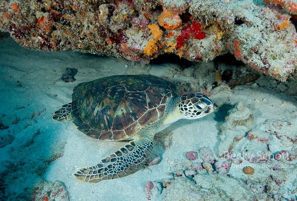 Hawksbill turtle chilling