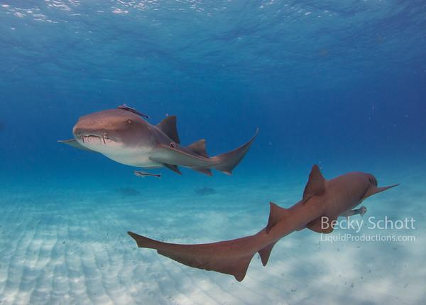 Nurse shark tag