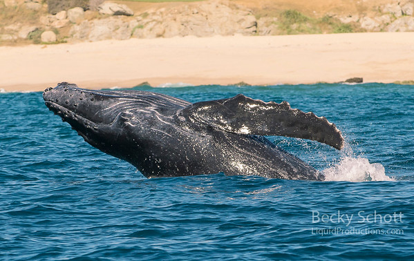 Breaching baby whale