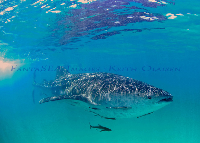 Whale Shark - Holbox, Mexico