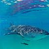 Whale Shark - Holbox, Mexico