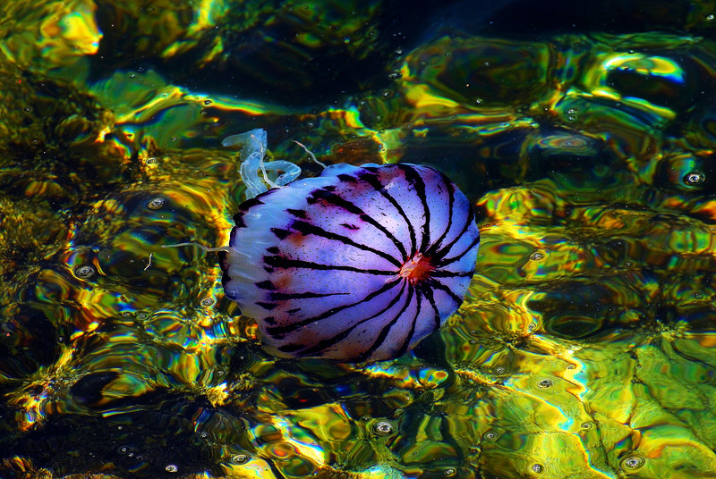Purple-Striped Jellyfish