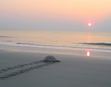June 15th 2010 Nesting Loggerhead