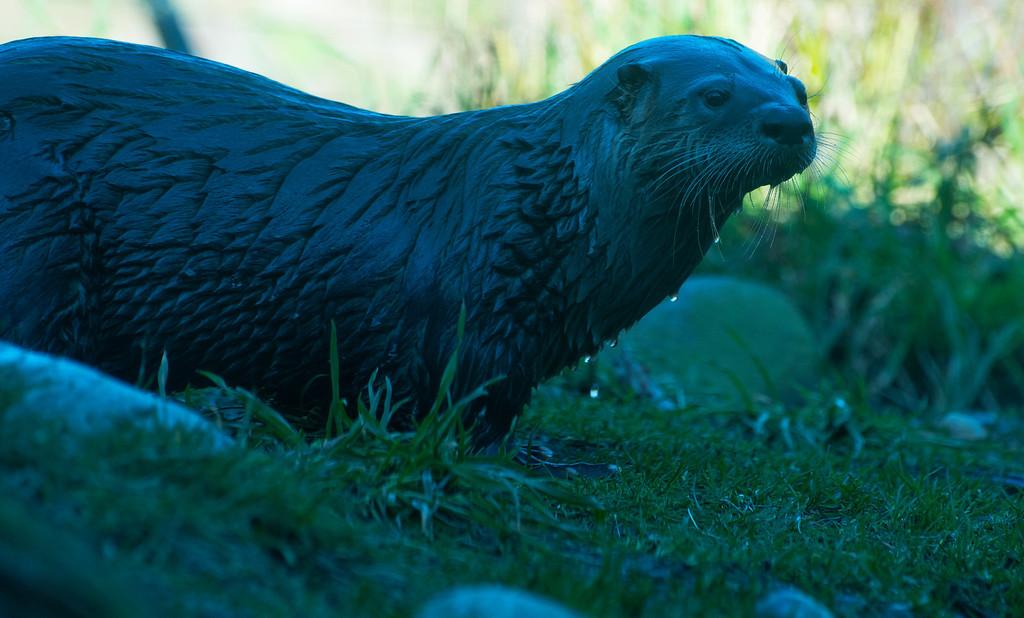 River Otter<br /> Seattle, Washington