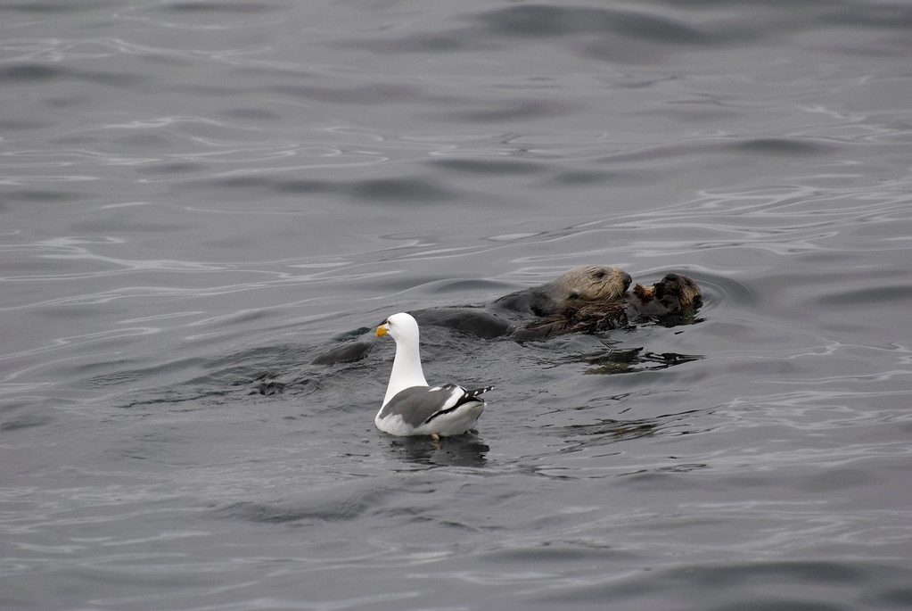 Sea Otter Mom and Pup, with Uninvited Gull