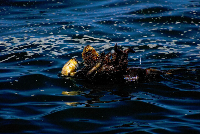 Adult Sea Otter Mother Holding Pup