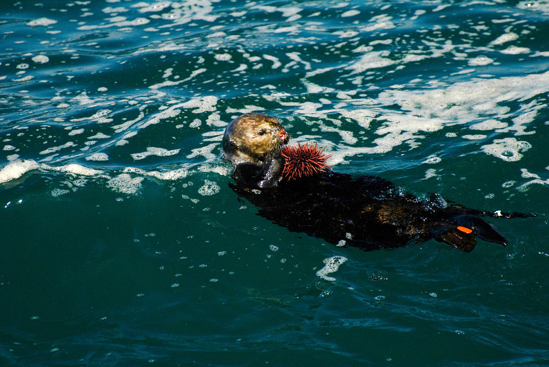 Adult Female Sea Otter Eating Sea Urchin