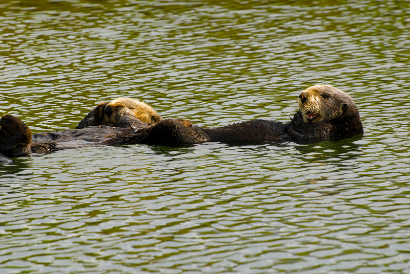 Adult Female Sea Otter & Pup