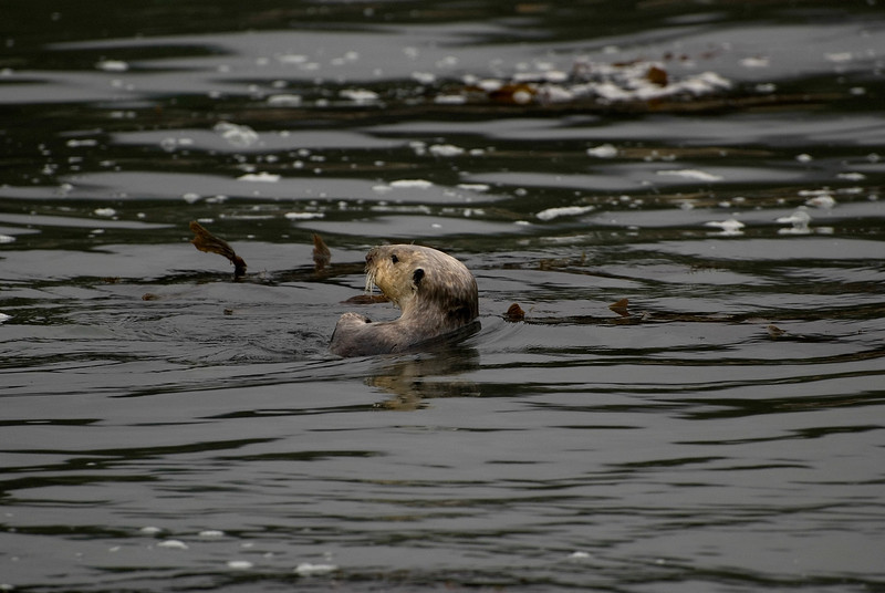 Adult Female Sea Otter