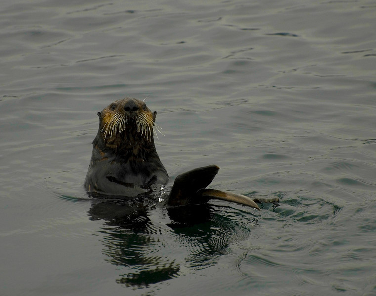 Adult Sea Otter