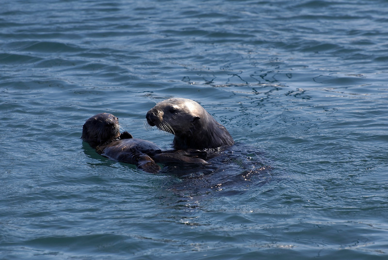 Sea Otter Adult Female & Pup