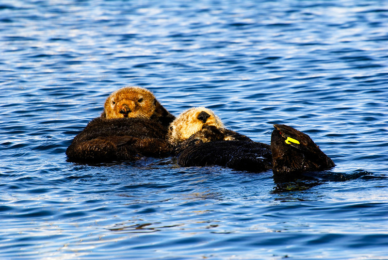 Adult Sea Otter Mother and Pup