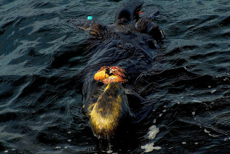 Adult Sea Otter Eating Crab