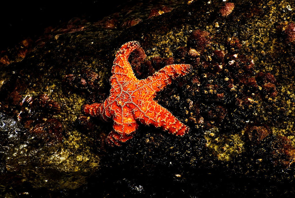 Ochre Sea Star