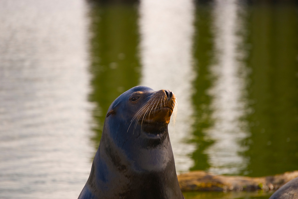 California Sea Lion<br /> Charleston Marina, Charleston, Oregon