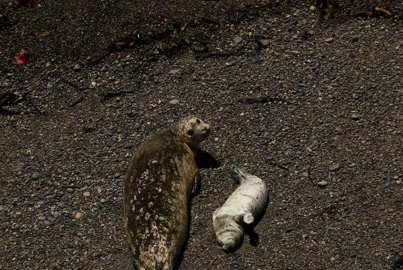 Harbor Seals & Pup