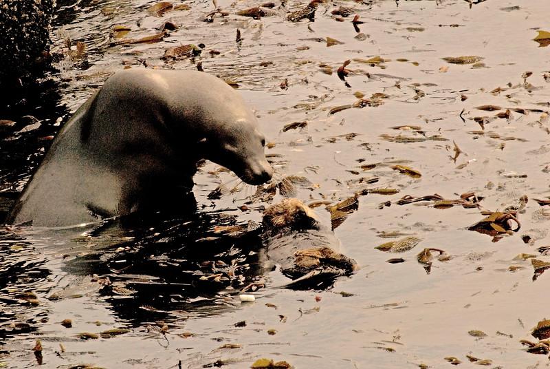 California Sea Lion Looking at Sleeping Sea Otter