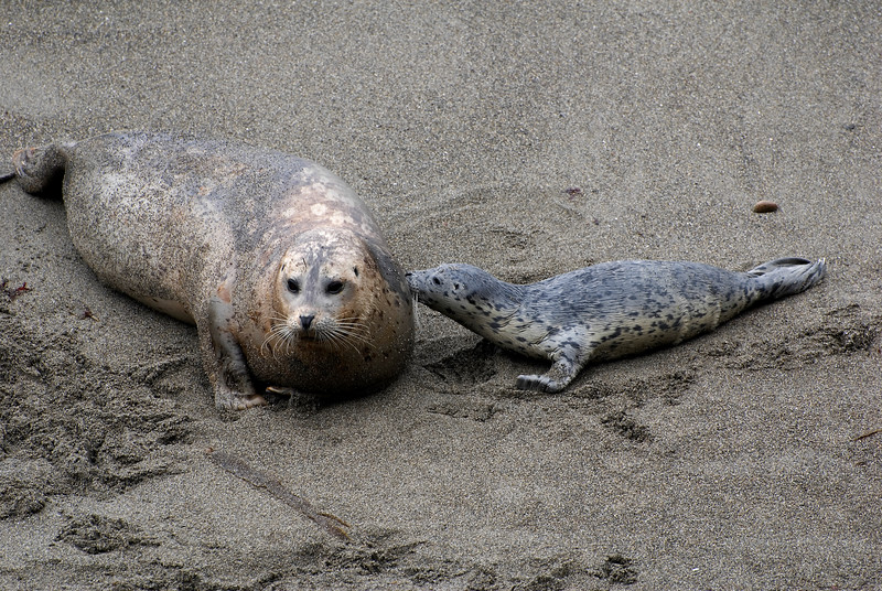 Harbor Seal & Pup