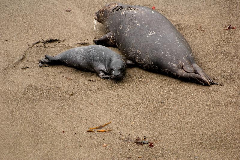 Harbor Seal & Pup